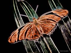 Electric_Butterfly-03 (jamesclinich) Tags: olympus omd em10 jamesclinich corel paintshoppro topaz denoise adjust clarity detail glow handheld availablelight butterfly lubbock lubbocktx texas tx insects sciencespectrum