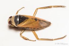 Notonecta glauca (Olli_Pihlajamaa) Tags: animalia arthropoda hemiptera heteroptera hexapoda insecta invertebrata notonecta notonectaglauca notonectidae elinkunta hynteiset kuusijalkaiset laikkumalluainen luteet malluaiset niveljalkaiset nivelkrsiset selkrangattomat