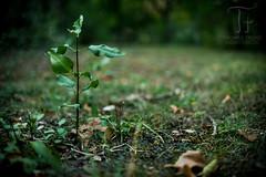 Starting Life (Thomas TRENZ) Tags: 35mm nikon thomastrenz vienna bumchen d600 dxonfx green grn iamnikon littletree nature wachsen wachstum wien