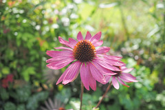 Echinacea (theoldsmithy) Tags: garden 17mm bloom pink flower echinacea coneflower em10