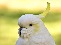 Sulfur Crested Cockatoo 2 (dennisgg2002) Tags: cleveland ohio oh zoo bird cockatoo