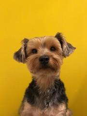 Shot on iPhone 7 Plus Portrait (zsanto) Tags: iphoneportrait yellow color animal cute iphone7plus yorkie puppy dog shotoniphone7 portrait