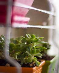 New House, New Garden! (Masoud KM) Tags: shiraz iran nikon d7100 50mm prime bokeh succulent