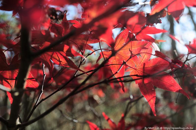 福壽山農場楓紅-22