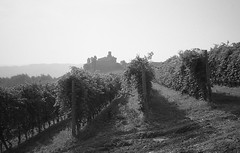 (giovanegian (a bit busy)) Tags: morning light shadow summer italy vineyard haze tranquility calm silence barolo absence contaxt2 selfdev fujineopanss 73020c orwoa311