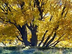 l'automne est tombé sur l'érable (b.four) Tags: autumn tree automne maple albero autunno arbre érable alpesmaritimes coth coursegoules rubyphotographer coth5 mygearandme mygearandmepremium mygearandmebronze ruby5 ruby15