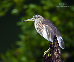 Indian Pond Heron ( Ardeola grayii ) (gary1844) Tags: heron pond indian ardeola grayii