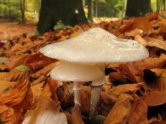 Seeking shelter (Wilma1962*) Tags: autumn mushroom herfst paddenstoel paddestoel porseleinzwam oudemansiellamucida porcelainmushroom mygearandme mygearandmepremium mygearandmebronze mygearandmesilver mygearandmegold mygearandmeplatinum