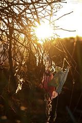 Restos (fabíola lourenço) Tags: sunset pordosol brazil tree colors field yellow brasil backlight contraluz cores landscape lost woods poetry dof bokeh amarelo campo poesia belohorizonte árvore galhos pipa bh papagaio lucasschwantes