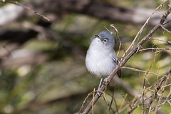 IMG_0103 Black-tailed Gnatcatcher (lois manowitz) Tags: arizona birds tucson gnatcatchers