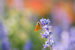 Skipper Buttefly (Explored!) (j man ) Tags: life lighting flowers friends light flower color macro art texture nature floral colors beautiful closeup composition butterfly bug insect lens photography fly illinois dof blossom bokeh pov background sony details skipper favorites 11 depthoffield pointofview sp ii views di if f2 minimalism tamron rule comments ld thirds washingtonpark jman a300 af60mm mygearandme flickrbronzetrophygroup