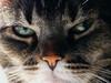 friendster (omoo) Tags: newyorkcity pet closeup cat feline apartment interior tabby westvillage kitty whiskers greeneyes citycat tabletop pinknose greenwichvillage feral friendster foundling darktabby sitsnexttome