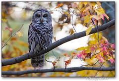 Barred Owl @ Shenandoah National Park, VA (Nikographer [Jon]) Tags: bird fall nikon foliage owl barredowl d4 snp nikond4 20121020d447039 geotagisveryapproximate