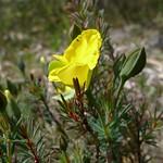 Gompholobium latifolium flower and bud thumbnail