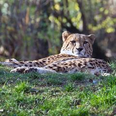 Die Besucher im Blick / Facing visitors (schreibtnix) Tags: nature animals closeup tiere natur bigcat cheetah predator sunbathing nahaufnahme gepard sonnenbad acinonyxjubatus colognezoo klnerzoo raubkatzen raubtier olympuse5 schreibtnix