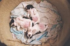 lauchas (whachadoin) Tags: color film analog puppy shihtzu doggy nikonf2