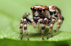 Jumping Spider (karthik Nature photography) Tags: macro nature closeup canon photography spider eyes legs spiders wildlife insects jumpingspider insectworld sigma105mm animalworld macrolife spiderphotography beautifulbugs aelurillus beautifulspiders