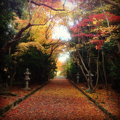 (yocca) Tags: autumn red leaves yellow leaf kyoto shrine 100v10f momiji japanesemaple fallen   2012   iphone5  instagram nov2012 oharanoshrine