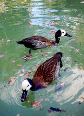 Ducky Love (JayS1993) Tags: cute nature water animal swimming feathers ducks