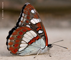 INDIAN RED BUTTERFLY (GREECE, ATTICA, DIONYSOS) (KAROLOS TRIVIZAS) Tags: fauna butterfly insect lepidoptera greece arthropoda attica insecta dionysos digitalcameraclub blinkagain