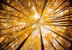 Autumn trees (StateMaryland) Tags: autumn fish tree eye fall leaves sunshine yellow leaf horozontal