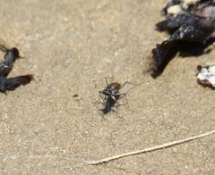 On the beach at Bargara (mgjefferies) Tags: australia queensland tigerbeetle coleoptera insecta bargara cicindelidae mgjefferies cicindelinae geo:country=australia