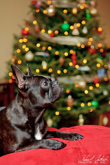 Gus in Front of the Tree (andrewjc7579) Tags: christmas dog cute animal puppy canonef2470mmf28lusm ef2470mmf28l canon2470mmf28l 5d2 5dmkii canoneos5dmkii eos5dmkii