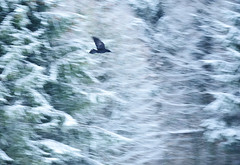 raven (Katharina Becker) Tags: snow cold berlin forest germany raven reinhardswald corvuscorax kolkrabe naturfotografiekatharinabecker flyoftheraven rabenflug