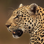 Panthera Pardus Profile