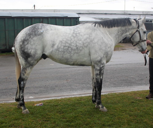 Ostin S Miracle 16h 7yo Gray Gelding Placed Finger