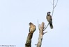 American Kestrel / Blue Jay - Bayou Courtableau, Louisiana (Image Hunter 1) Tags: blue sky tree nature birds louisiana branch branches bluejay bayou swamp perch perched marsh americankestrel canoneos7d birdslouisiana bayoucourtableau