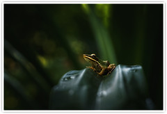 Copper-cheeked Frog  (Explored) (Vin PSK) Tags:
