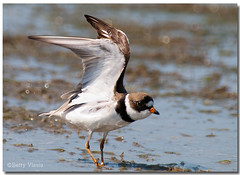 Semipalmated Plover (Betty Vlasiu) Tags: bird nature wildlife plover semipalmated semipalmatus charadrius freedomtosoarlevel1birdphotosonly