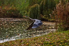 Fly Away (Usuf Islam) Tags: park morning holland nature water leaves amsterdam birds animals landscape wildlife 7d various atmospheric vondolpark