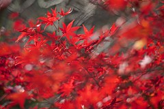 Red Leaves (peaceful-jp-scenery) Tags: autumn leaves leaf maple minolta sony   atami amount   plumpark powerzoom  dslra900 900 af35200mmxif4556