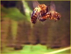 Queen and drone bees mating (Brian D Lacy) Tags: portland live bees beekeeping honeybees swarms brianlacy livehoneybees honeybeescom
