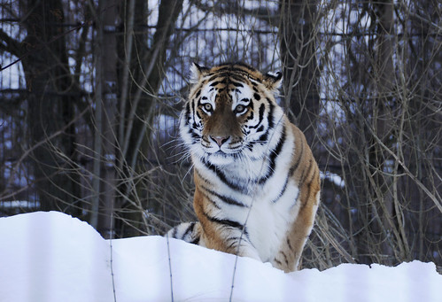 winter snow zoo tiger lumi talvi korkeasaari eläintarha tiikeri