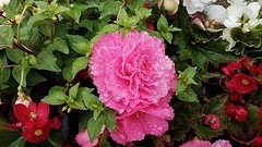 Double Begonia after the rain (Eddie Crutchley) Tags: flowers nature beauty wonderful outside begonia simplysuperb