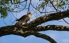 DSC_7656 (Keztik) Tags: canada tree cemetery reflex nikon quebec sherbrooke merlin falcon dslr arbre cimetiere elmwood falco faucon columbarius d3200 merillon