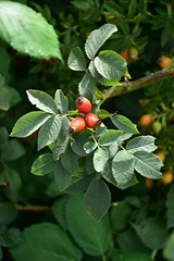 Rose hips (Sarka Tesik) Tags: rosehip sipek hrdlorezy praha sad stromy tresnovka zizkov nature priroda tree visnovka wood zelena cherrytree orchard prague czechrepublic natural park
