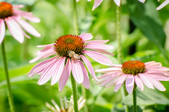 Coneflowers with bee (hickamorehackamore) Tags: 2016 ct coneflower connecticut echinacea haddam nwf nikon backyard bee certified habitat native summer wildlife