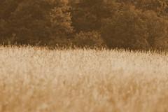 Getreidefeld (magicdeu1) Tags: schranke bunt rotweiss rotweis wald weg mll mlleimer schwarzweis dreck spazieren regenbogen regenbogenwolken wolken blauer himmel blauerhimmel flugzeu streifen feld korn getreide hummel insekt blume butterblume gelb farbe biene wespe tier tierchen sepia sonnenuntergang drausen