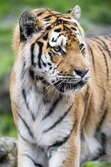 Coto looking at the side (Tambako the Jaguar) Tags: male portrait face side shy close tiger amur siberian big wild cat zrich zoo switzerland nikon d5