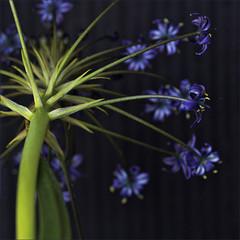 . (me*voil) Tags: agapanthus flower blue onblack