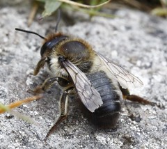 Megachile (Xanthosarus) sp. f cf M.  willughbiella (BSCG (Badenoch and Strathspey Conservation Group)) Tags: gos