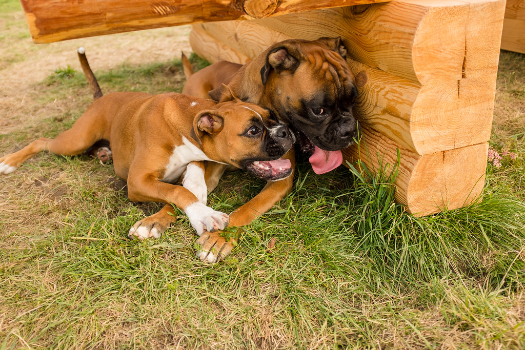 The World's Best Photos of boxers and puppies - Flickr Hive Mind