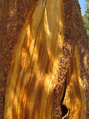 Foxtail Pine Closeup (Mike Dole) Tags: johnmuirtrail california sierranevada anseladamswilderness inyonationalforest