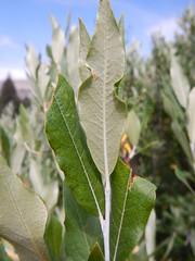 Salix lemmonii (in Death Canyon) (Matt Lavin) Tags: salixlemmonii lemmonswillow salicaceae tetonrange grandtetonnationalpark wyoming native shrub riparian
