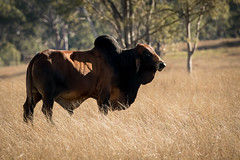 20160825_3808_7D2-400 Brahman Bull (238/366) (johnstewartnz) Tags: canonapsc 7dmarkii 7d2 apsc canon eos toowoomba glenesk queensland australia au onephotoaday onephotoaday2016 project366 366the2016edition 3662016 day238366 25aug16 bull cattle brahman brahma brahmanbull 100canon unlimitedphotos