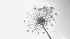 Take my breath away (Scagliediterra) Tags: biancoenero blackandwhite bn flowe fiore sovresposizione overexposure artofnature nature natura summer estate prospettiva prospective